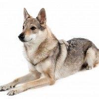 #dogalize Razas de Perros: Perro Lobo Checoslovaco caracteristicas #dogs #cats #pets