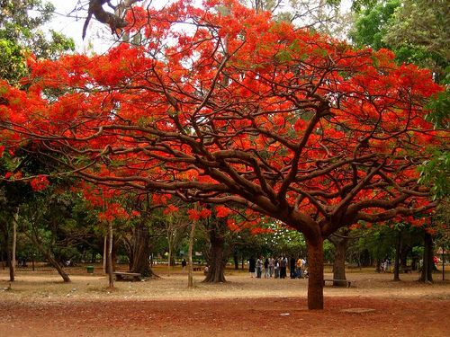 Delonix regia. It is noted for its fern-like leaves and flamboyant display of flowers. In many tropical parts of the world it is grown as an ornamental tree and in English it is given the name Royal Poinciana or Flamboyant. It is also one of several trees known as Flame tree.  In India it is known as Gulmohar (Hindi and Urdu -'Gul' means 'Flower' and 'Mohr' is 'Peacock; thus the name suggests a spectacular show of color, like the extraordinary colors of a peacock's tail).