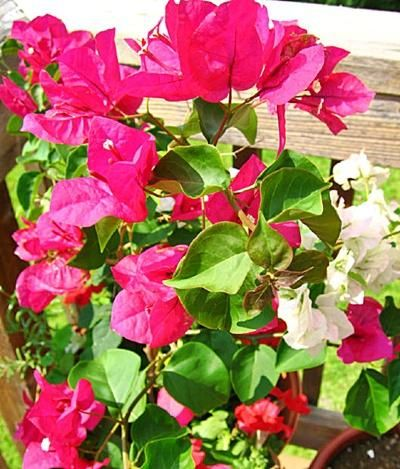Bougainvillea care and training into a standard tree form