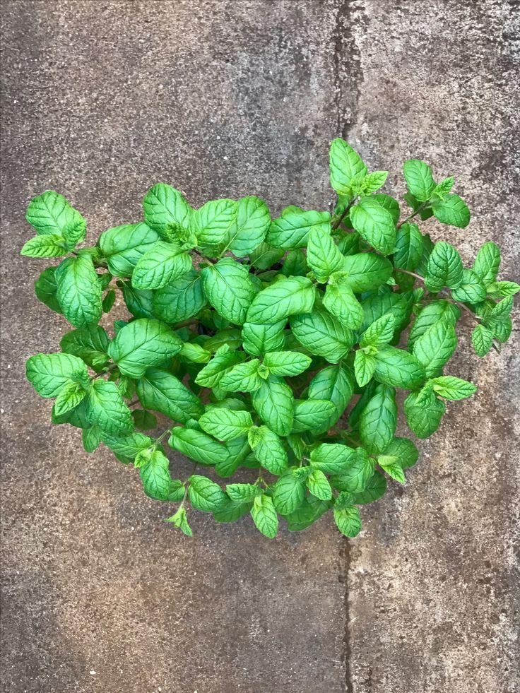 The Queen of Herbs - Mint I Minttu - Yrttien Kuningatar