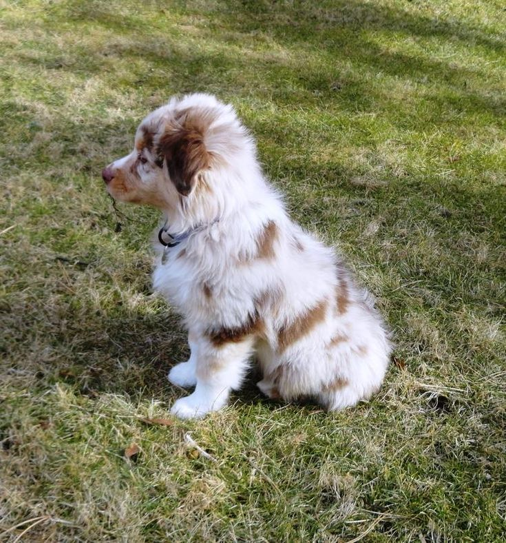 Red Merle Australian Shepherd Puppy animals Pinterest