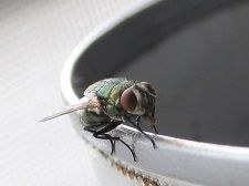 House Fly on the rim of a coffee cup #aceexterminating #housefly