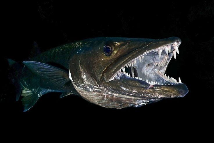 Giant Barracuda - Twilight Dive - Tulamben, Bali by Max Forster on 500px