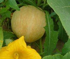Melon : culture, semis, plantation, récolte