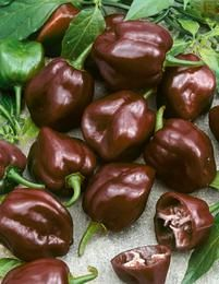"Chili Habanero Chocolate (""Capsicum chinense"") - sounds delicious!"
