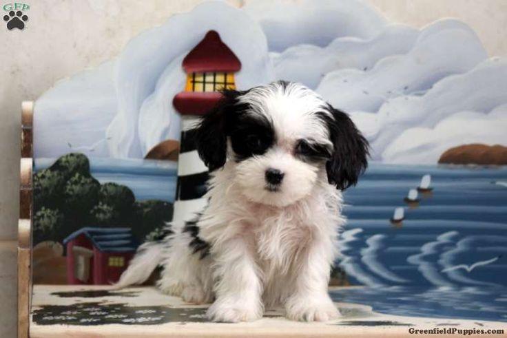 Fiona, Cavapoo Puppy