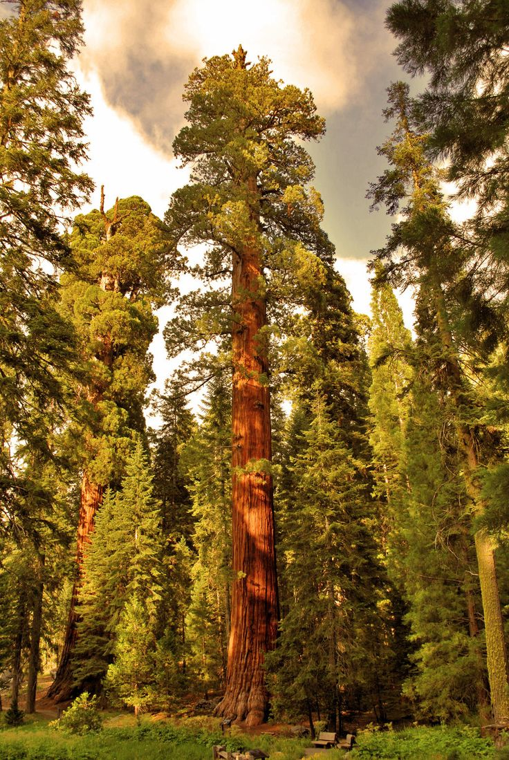 Sequoia Trees at Yosemite National Park, California