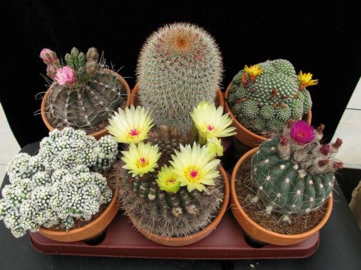 m s de 1000 ideas sobre cuidados cactus en pinterest