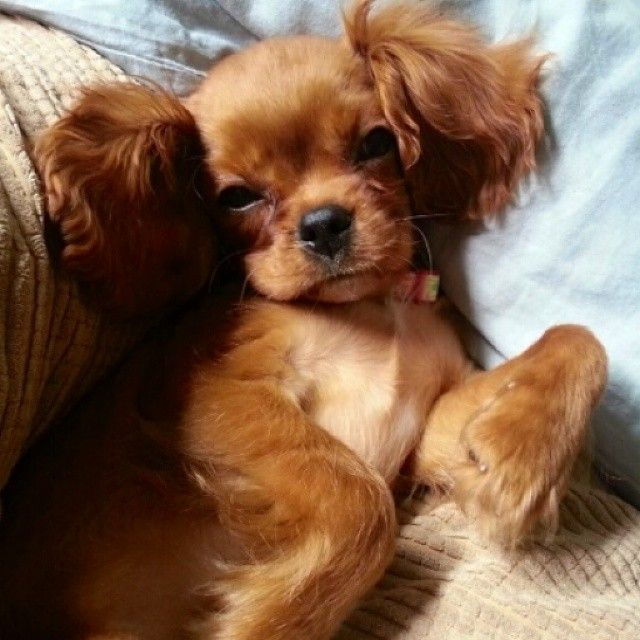 Ruby Cavalier King Charles Spaniel » Ginger the Ruby King Charles ...