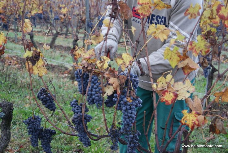 cutting down Nebbiolo greape banches