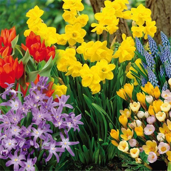Caissette Festival des Fleurs  125 bulbs  botanical tulips, perfumed jonquils, grape hycinths, botanical crocus, and botanical chionodoxa.  $27.99