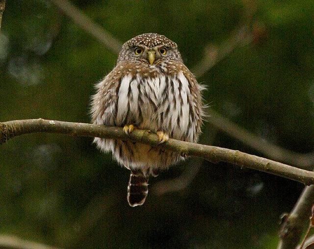Northern pygmy owl at Alderleaf Wilderness College by Alderleaf Wilderness College, via Flickr