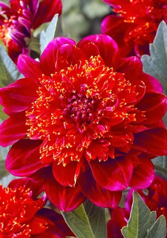 Jive Anemone Dahlia ~~ Dahlia is a member of the Asteraceae (or Compositae), dicotyledonous plants, related species include the chrysanthemum, daisy, sunflower, and zinnia.