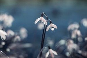 Snowdrops Flowers HD Wallpaper