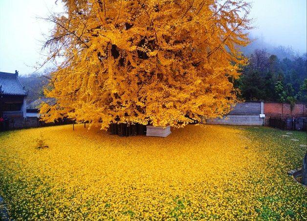 O incrível tapete amarelo formado pelas folhas caídas de uma árvore com mais de 1400 anos