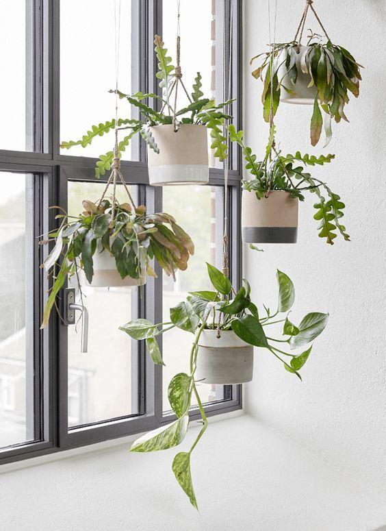 Des plantes d'intérieur retombantes permet d'habiller l'espace verticalement, par exemple l'espace devant la fenêtre.: