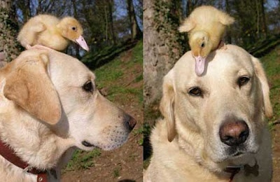 Fred the Labrador adopted a duckling when its mother was killed by a fox. Happy Easter!