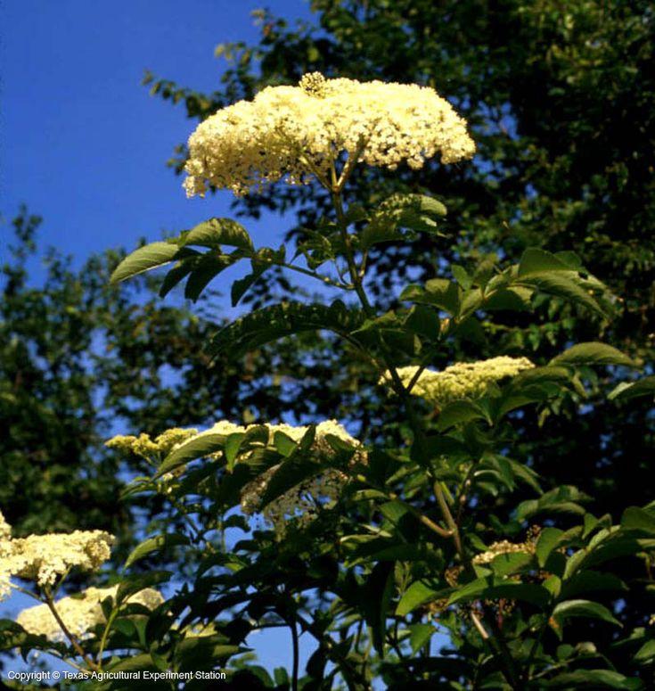 8 best texas native plants images on pinterest
