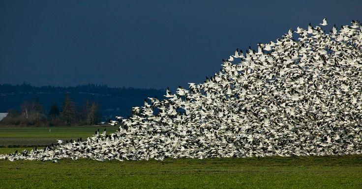 Snow Goose migration in the Skagit Valley - via LoveBellingham on Facebook