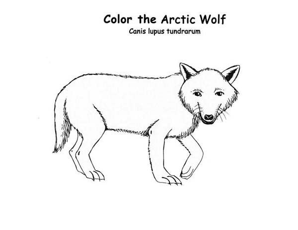 Arctic Animals Arctic Wolf Is Arctic Animals Coloring Page