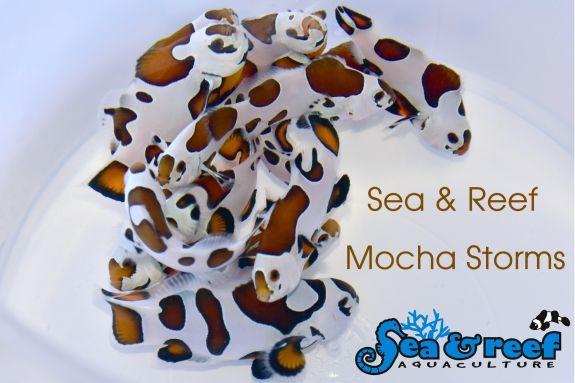 Sr Mocha Storm Clownfish Group Clown Fish Mocha Fish