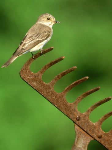 Spotted Flycatcher, Muscicapa Striata Perched on Rusty Garden Rake, UK Photographic Print By Mark Hamblin