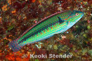 Halichoeres poecilopterus - 花鰭海豬魚