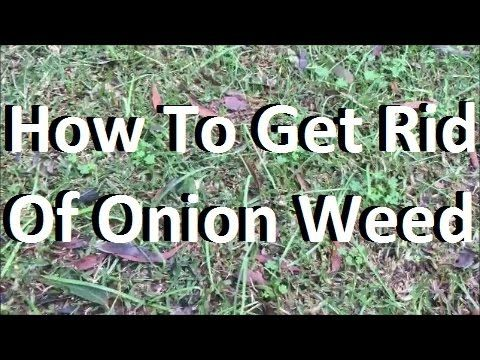[Onion Weed Control] [How To Get Rid Of Onion Weed] [Onion Weed Control] - How To Get Rid Of Onion Weed - check this out at https://youtu.be/j3pRL1MvoVY