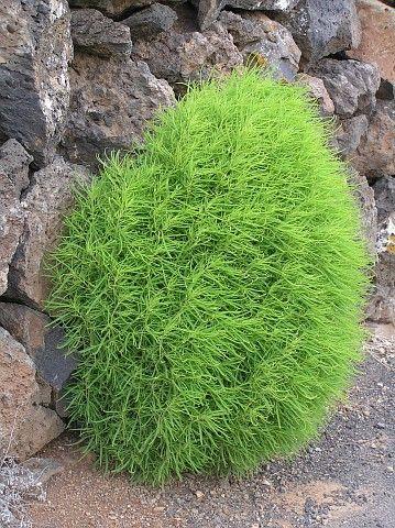Google Image Result for http://foro.portalplantas.com/attachments/fichas-de-plantas/15758d1288643767-kochia-scoparia-kochia_scoparia.jpg