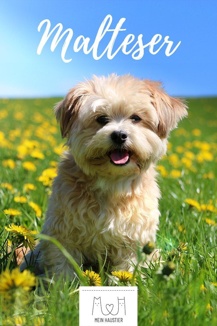 Der Treue Blick Das Pluschige Fell Und Die Liebenswerte Art Machen Den Malteser Zu Einem Tollen Begleithund Erf Dog Breeds Little Dog Cat Pictures Dog Breeds