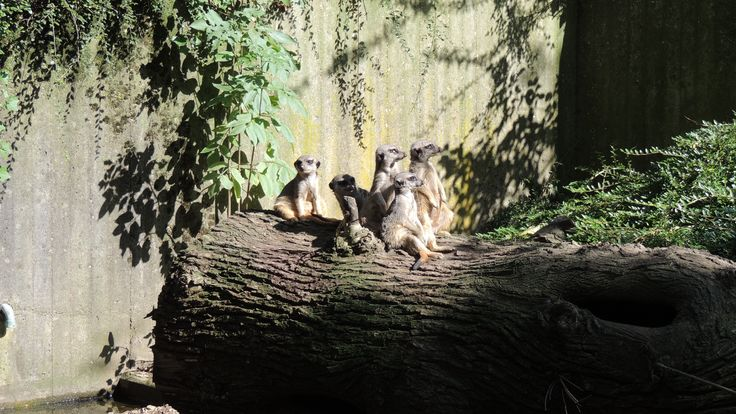 erdmännchen bilder   Erdmännchen - kostenlose Bilder hochladen