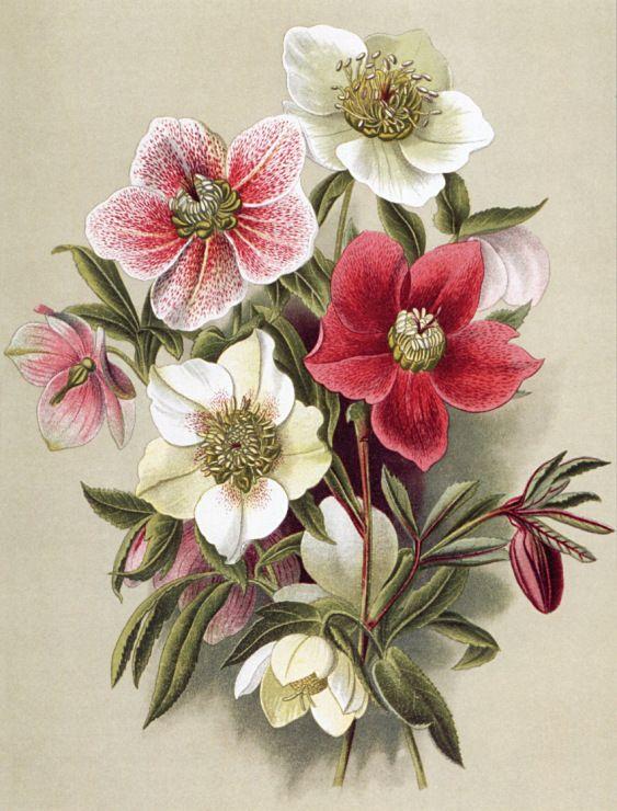 (12) Gallery.ru / Ветреницы японские, разные сорта (анемоны) - Садовые…