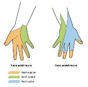 territoire nerveux de la main
