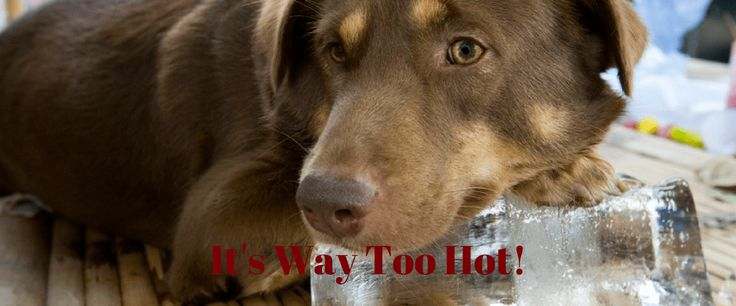 Dogs That Are Poorly Suited for Hot Weather | Pet Quest