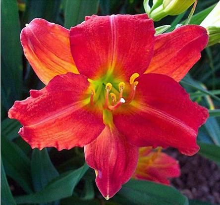 """Johansens Planteskole. Tarhapäivänlilja 'Red Rum'. Ostin kaksi näitä Taimimoisiolta Porista. Taimimoision kuvassa kukka on hiukan erilainen, terälehdet kapeammat ja kukka """"liljamaisempi"""", mutta kuva on liian pieni Pinterestiin. http://www.taimimoisio.com/index.php?lan=fi&page=gallery&subject=GalleryHemerocallis#"""