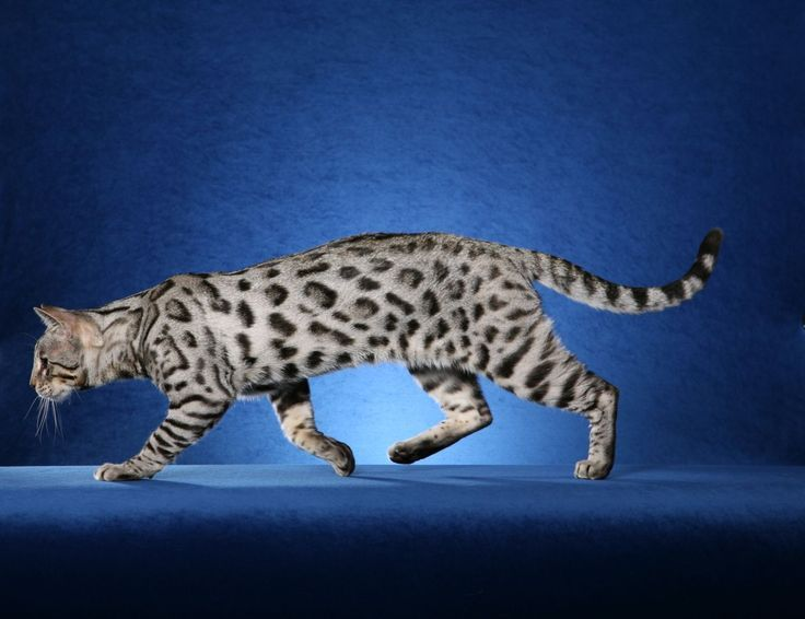 Image Detail For Silver Bengal Kittens For Sale Pet Breeder Show Quality Beng Bengal Kittens Ideas Of Bengal Bengal Kitten Bengal Cat Silver Bengal Cat