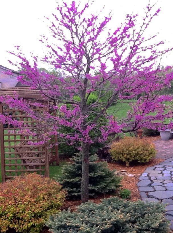 Redbud tree-my favorite
