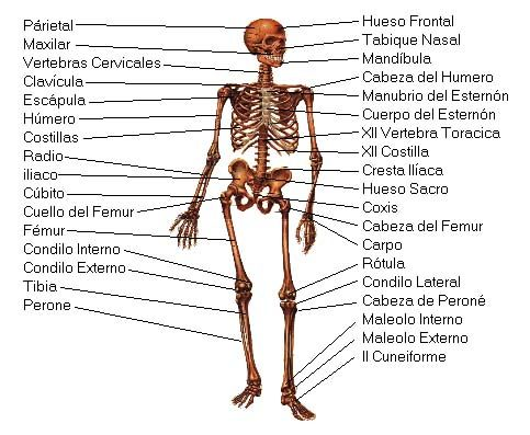 spanish bones names | anatomy references | pinterest | anatomy, Skeleton