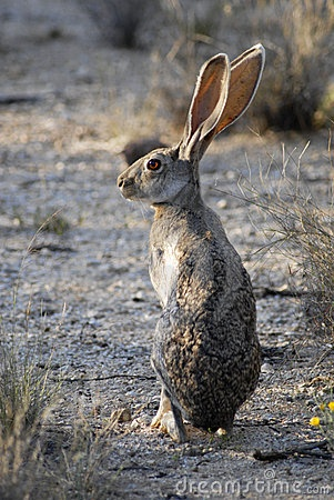 Saw a Jack Rabbit in the wild. These things are crazy.