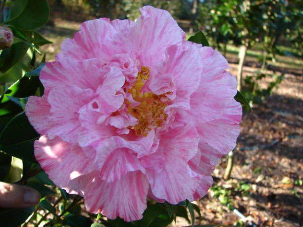 Camellia Japonica 39 Happy Birthday 39 U S 1973 Camellias Pinterest Gardens Plants And