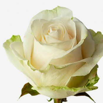 Mondial - a beautiful pure white rose with a hint of green