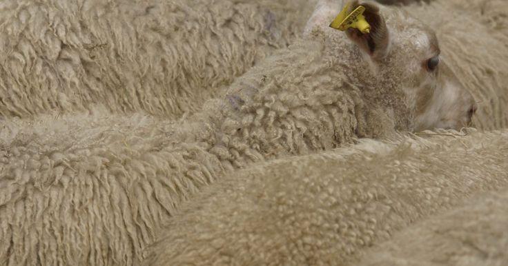 Cómo construir un refugio para ovejas. Si has elegido criar ovejas, ya sea por su carne o su lana, tu rebaño necesitará un refugio para protegerse de las inclemencias del tiempo. Si apenas estás empezando con tres o cuatro ovejas y aún no has comenzado a reproducirlas, una estructura simple de tres lados proveerá la adecuada protección en prácticamente todos los climas, exceptuado los ...