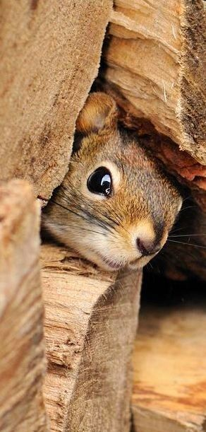 This Squirrel has a nest in a wood pile