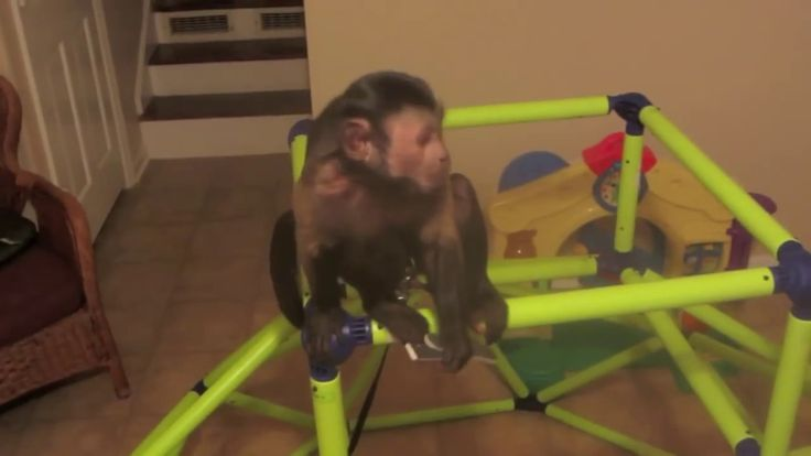 Capuchin Monkey Room Tour
