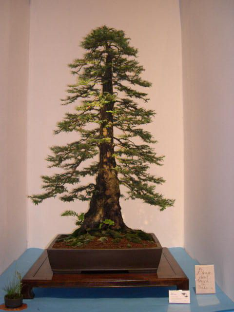 Guys. Guys. It's a redwood bonsai. A MINIATURE REDWOOD. I need this in my life.