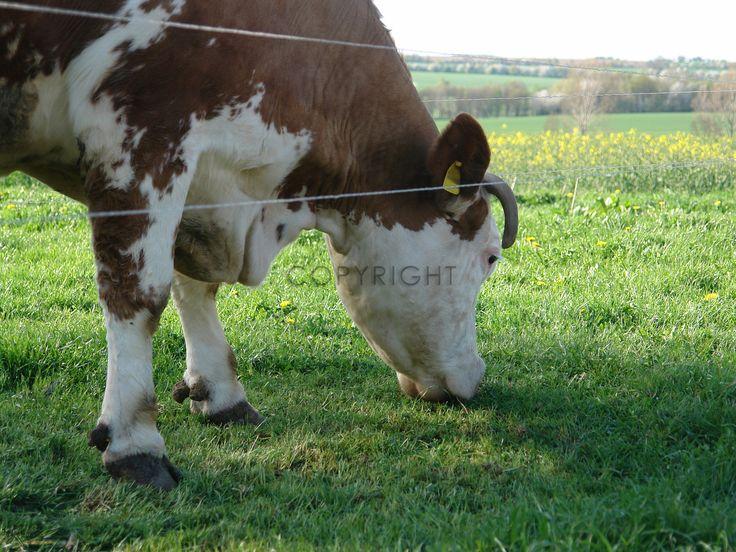 Gerade gefunden auf http://shop313566.fineartprint.de  Tiere, Hund, Katzen, Vögel, Kühe, Kuh, Rind, Kalb, Landwirtschaft, Nutztiere, Stall, Weide, Bauernhof, Natur