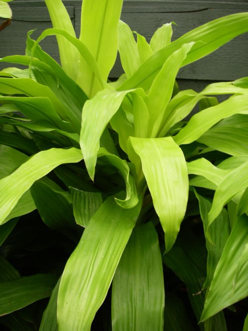 Dracaena Limelight Is One Of The Best Plants For