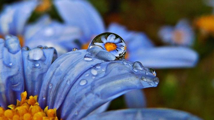 Blue daisy bush (Felicia amelloides)