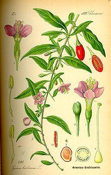 Gemeiner Bocksdorn – Wikipedia