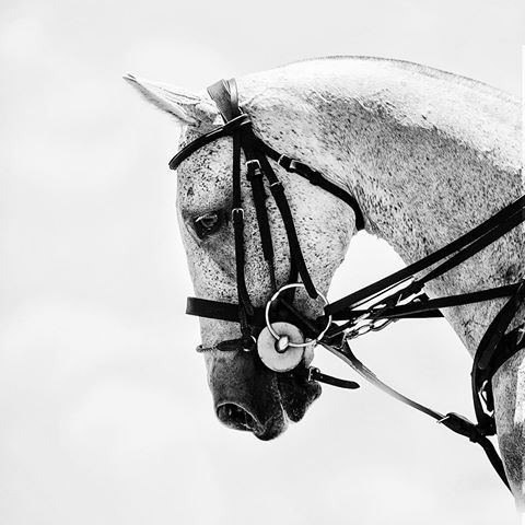 Loved this little grey polo pony. I think I'm a grey girl through and through #magicmillionspolo #horseart #equineart #equinephotographer #polo